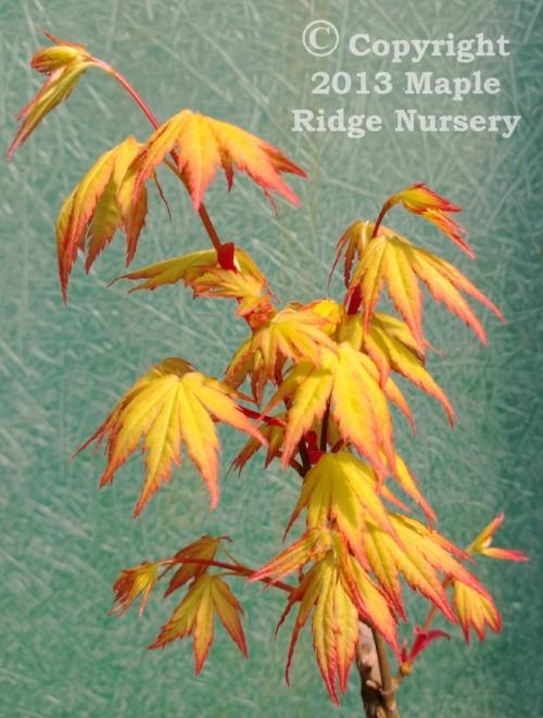 Acer_palmatum_Orange_Dream_March_2013_Maple_Ridge_Nursery.jpg