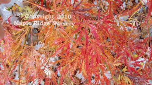 Acer_palmatum_Ornatum_November_2011_Maple_Ridge_Nursery.jpg