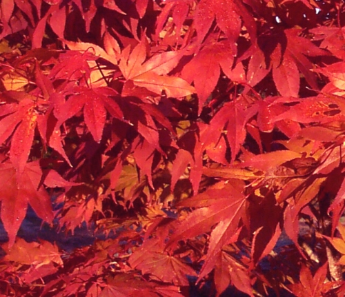 Acer_Palmatum_Oshio_Beni_November_Maple_Ridge_Nursery.jpg