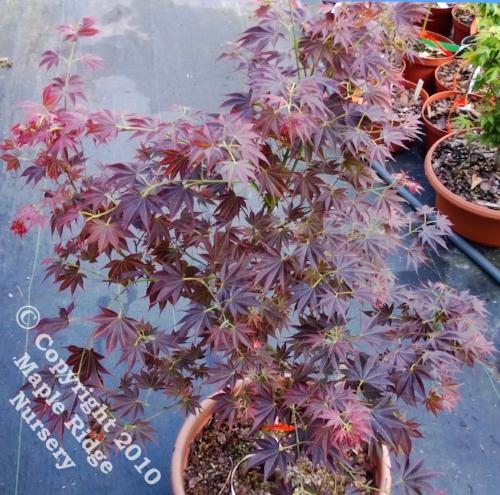 Acer_palmatum_Oshu_shidare_April_2013_Maple_Ridge_Nursery_1.jpg