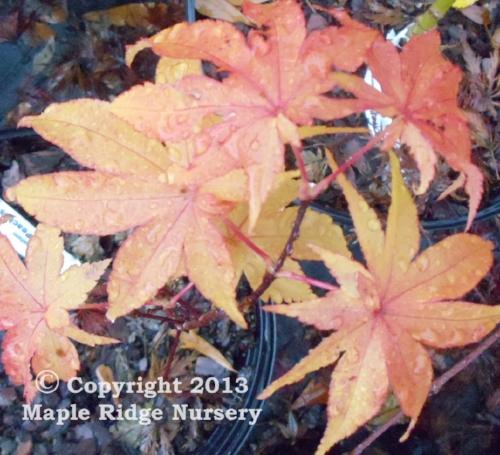 Acer_palmatum_Peaches_and_Cream_November_2011_Maple_Ridge_Nursery.jpg
