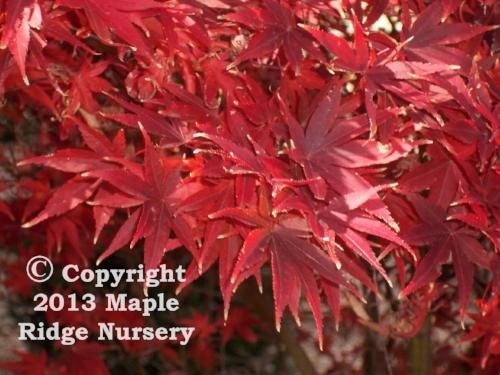 Acer_palmatum_Pixie_November_Maple_Ridge_Nursery.jpg