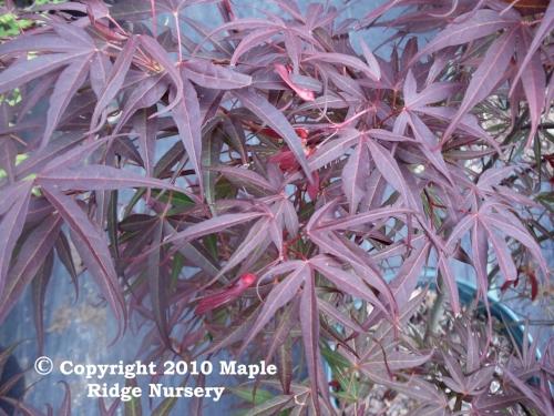 Acer_palmatum_Red_Cloud_April_2012_Maple_Ridge_Nursery.jpg