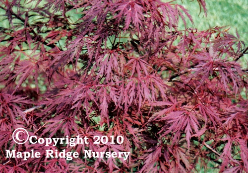 Acer_palmatum_Red_Dragon_April_Maple_Ridge_Nursery_1.jpg