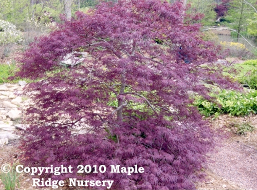 Acer_palmatum_Red_Dragon_April_Maple_Ridge_Nursery.jpg