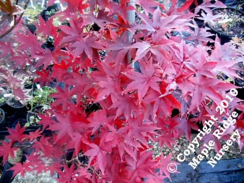 Acer_palmatum_Red_Emperor_November_2012_Maple_Ridge_Nursery.jpg