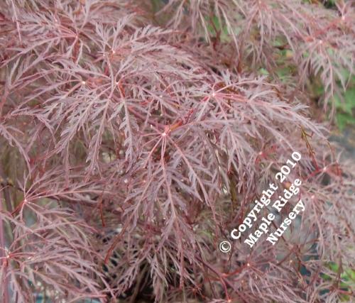 Acer_palmatum_Red_Feathers_April_2012_Maple_Ridge_Nursery.jpg