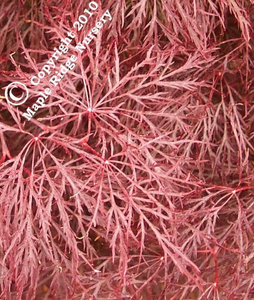 Acer_palmatum_Red_Filigree_Lace_Maple_Ridge_Nursery.jpg