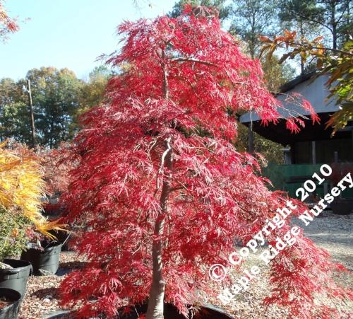 Acer_palmatum_Red_Select_November_2010_Maple_Ridge_Nursery.jpg