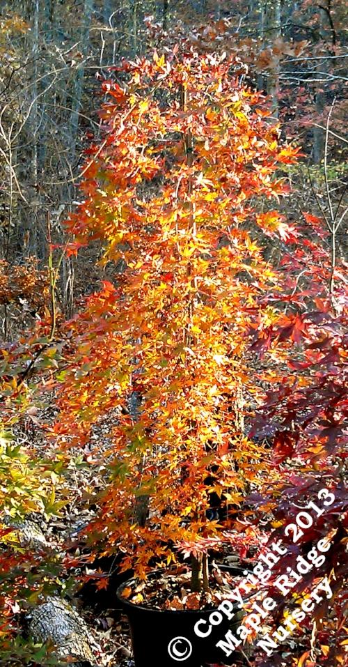Acer_palmatum_Ryu_sei_November_2012_Maple_Ridge_Nursery.jpg