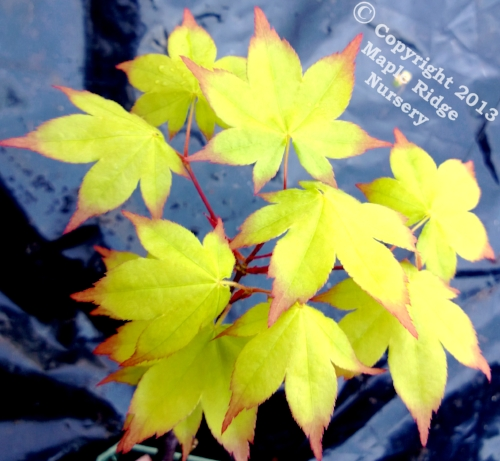 Acer_palmatum_Satsuki_beni_April_2013_Maple_Ridge_Nursery.jpg