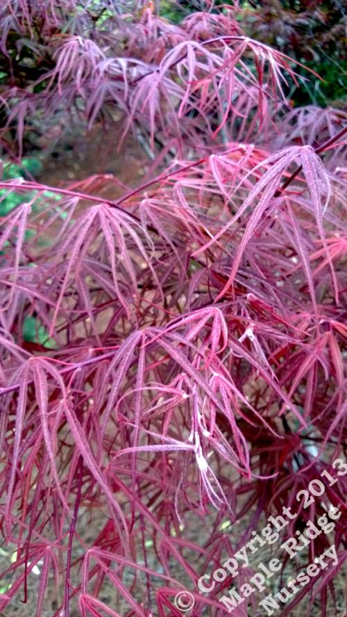Acer_palmatum_Scolopendrifolinum_Rubrum_April_2013_Maple_Ridge_Nursery.jpg