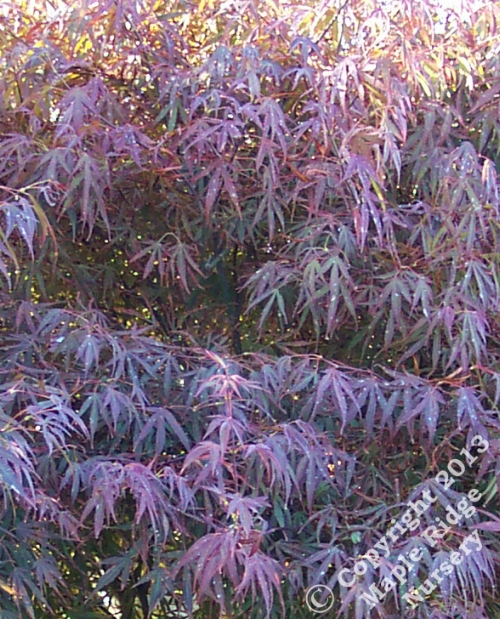 Acer_palmatum_Scolopendrifolinum_Rubrum_June_Maple_Ridge_Nursery.jpg