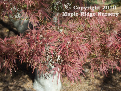 Acer_palmatum_Seiryu_November_Maple_Ridge_Nursery.jpg