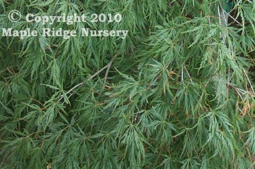 Acer_palmatum_Sekimori_July_Maple_Ridge_Nursery.jpg