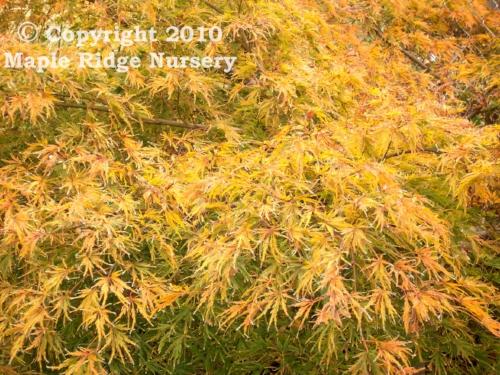 Acer_palmatum_Sekimori_October_Maple_Ridge_Nursery.jpg