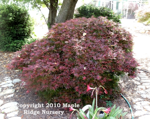 Acer_palmatum_Shaina_April_2012_Maple_Ridge_Nursery.jpg