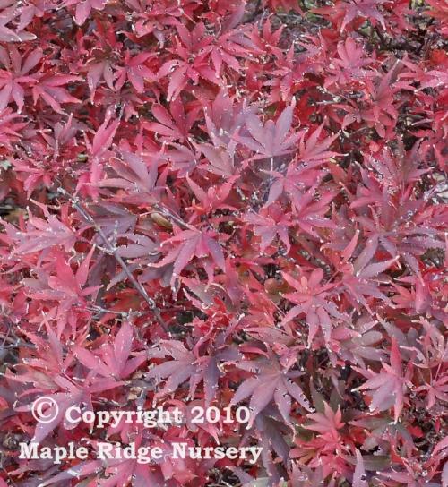 Acer_palmatum_Shaina_November_2010_Maple_Ridge_Nursery.jpg