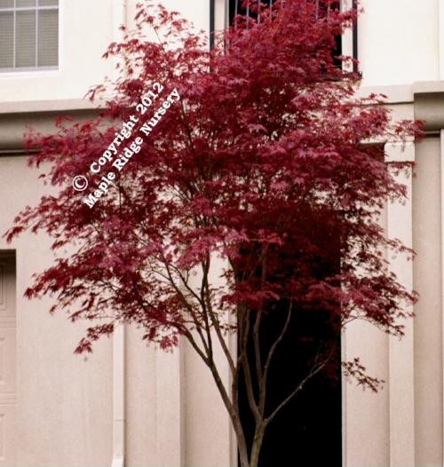 Acer_palmatum_Sherwood_Flame_April_Maple_Ridge_Nursery.jpg