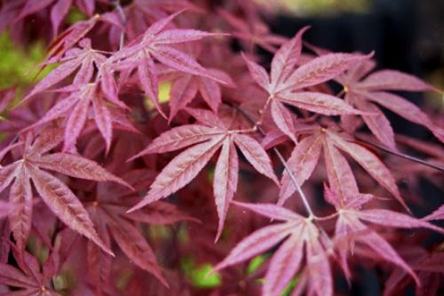 Acer_Palmatum_Shojo_Nomura_April_Maple_Ridge_Nursery.jpg