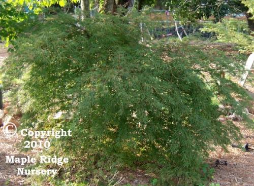 Acer_palmatum_Shojo_shidare_August_Maple_Ridge_Nursery.jpg