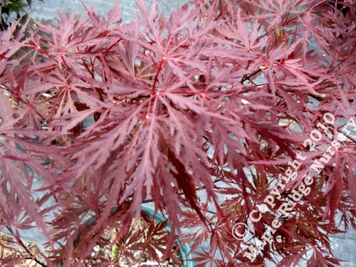 Acer_palmatum_Stella_Rossa_April_2012_Maple_Ridge_Nursery.jpg