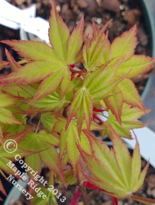 Acer_palmatum_Takao_March_2013_Maple_Ridge_Nursery.jpg