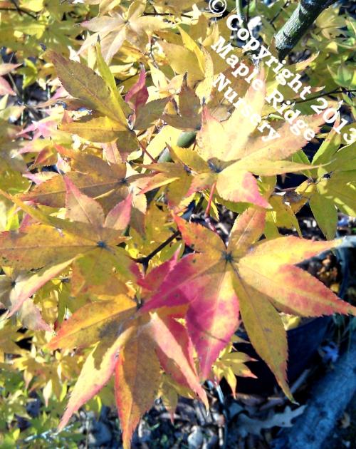 Acer_palmatum_Tana_November_2012_Maple_Ridge_Nursery.jpg