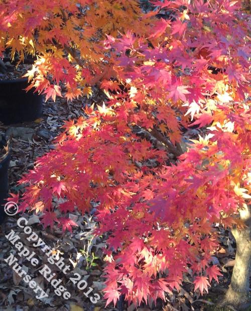 Acer_palmatum_Tobiosho_November_2012_Maple_Ridge_Nursery.jpg
