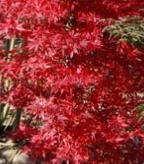 Acer_palmatum_Tsukasa_Silhouette_November_Maple_Ridge_Nursery.jpg