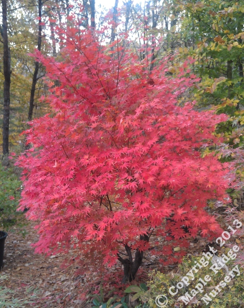 Acer_palmatum_Tsukubane_November_2012_Maple_Ridge_Nursery.jpg