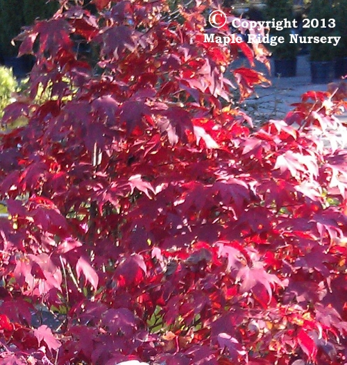 Acer_palmatum_Tsuma_gaki_November_2012_Maple_Ridge_Nursery.jpg