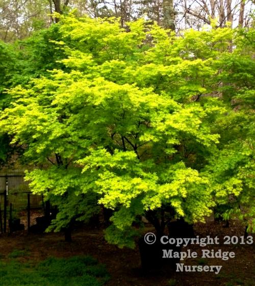 Acer_palmatum_Ueno_Yama_April_2013_Maple_Ridge_Nursery.jpg
