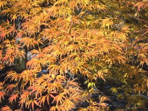 Acer_palmatum_Washi_no_o_Maple_Ridge_Nusery_1.jpg