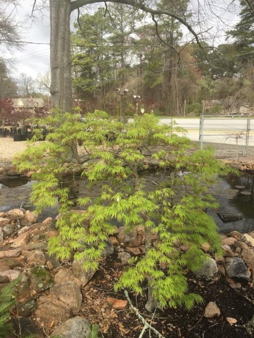 Acer_Palmatum_Waterfall_March_10_2017_Maple_Ridge_Nursery_3.jpg