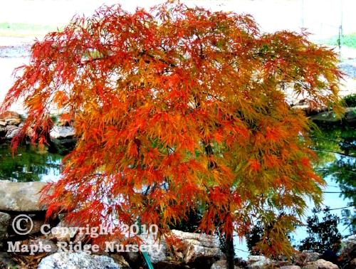 Acer_palmatum_Waterfall_October_Maple_Ridge_Nursery.jpg