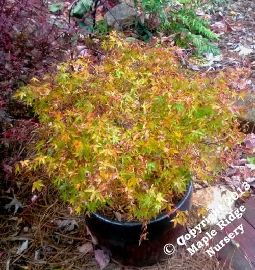 Acer_palmatum_Yama_hime_November_2013_Maple_Ridge_Nursery.jpg