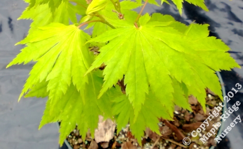 Acer_shirasawanum_6910_Holland_April_2013_Maple_Ridge_Nursery.jpg