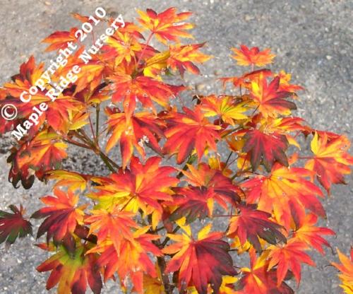 Acer_Shirasawanum_Palmatifolium_November_Maple_Ridge_Nursery.jpg