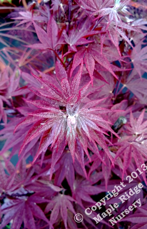 Acer_shirasawanum_Red_Dawn_April_2013_Maple_Ridge_Nursery.jpg