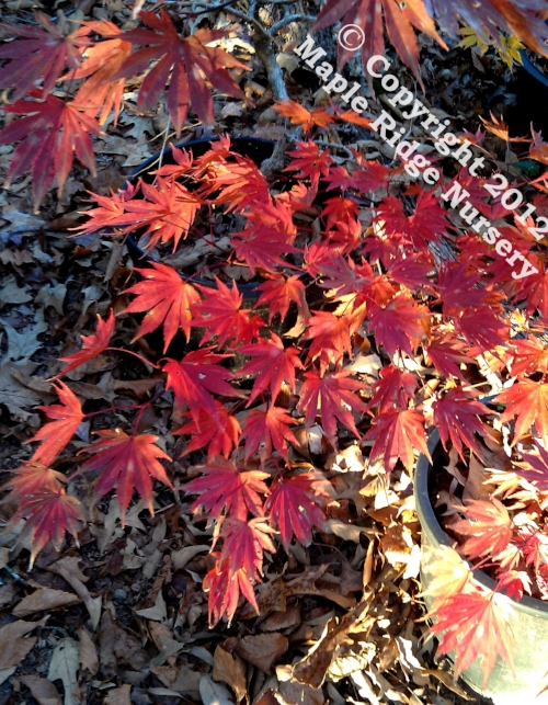 Acer_shirasawanum_Sensu_November_2012_Maple_Ridge_Nursery.jpg