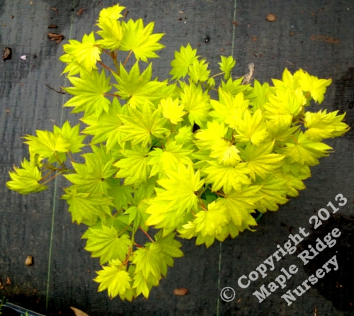 Acer_shirasawanum_Sonya_Marie_June_2013_Maple_Ridge_Nursery.jpg