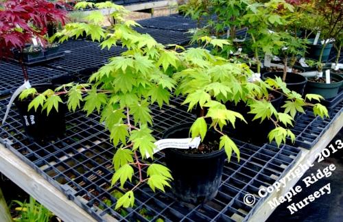 Acer_sieboldianum_Seki_no_kegon_May_Maple_Ridge_Nursery.jpg