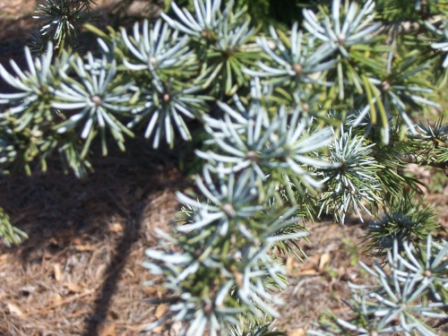 Cedrus_Atlantica_Glauca_Maple_Ridge_Nursery.jpg