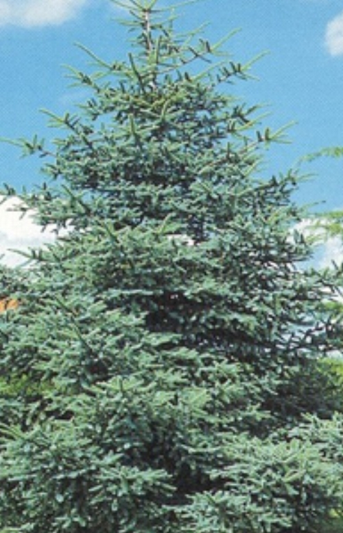 Cedrus_Atlantica_Glauca_Maple_Ridge_Nursery_1.jpg