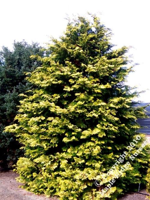 Chamaecyparis_obtusa_Cripsii_Maple_Ridge_Nursery.jpg