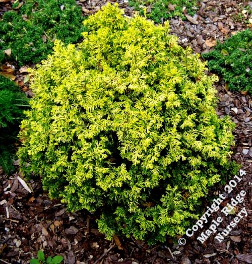 Chamaecyparis_obtusa_Kamaeni_hiba_Maple_Ridge_Nursery_1.jpg