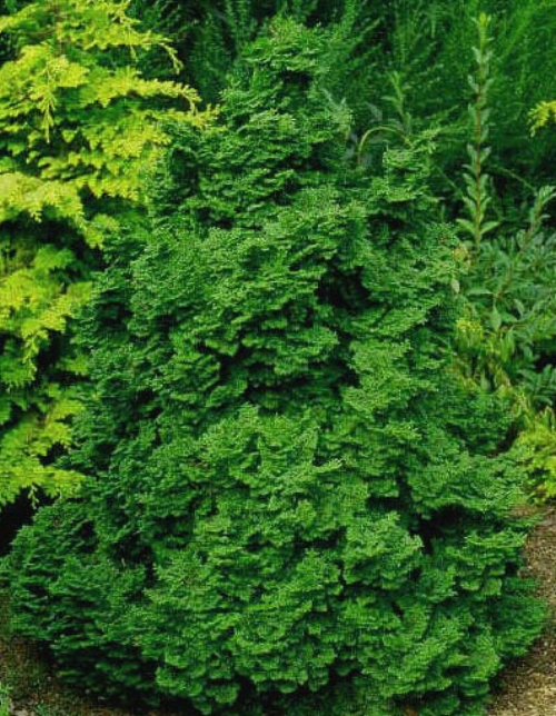 Chamaecyparis_obtusa_Kosteri_Maple_Ridge_Nursery.jpg
