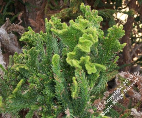 Cryptomeria_japonica_Cristata_Maple_Ridge_Nursery.jpg