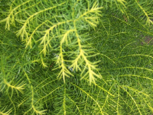 Cryptomeria_japonica_Elegans_Aurea_Maple_Ridge_Nursery.jpg